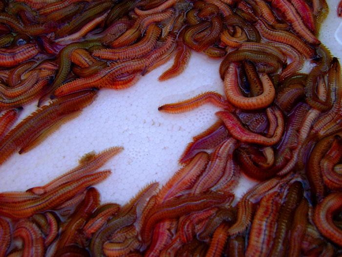 Dân Hà Thành xưa đều tâm niệm mỗi năm phải ăn rươi ít nhất 1 lần vào mùa rươi