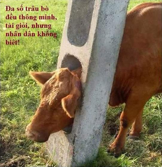 Đa số trâu bò đều thông minh, tài giỏi, nhưng nhân dân không biết!
